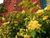 木工バラが一面に咲きました