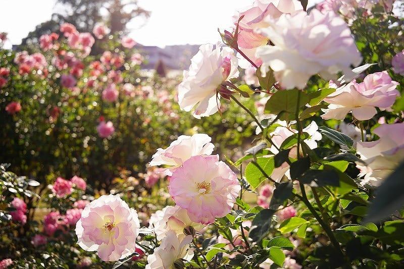 神奈川の工務店、レンガの家で薔薇のある暮らし