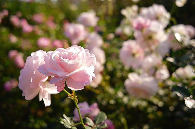 神奈川の工務店、薔薇のある暮らし