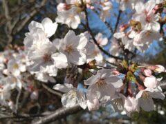 神奈川の工務店「せらら工房」のブログ 今年の桜